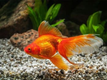 How Long Can Goldfish Go Without Food
