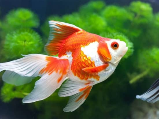 Other Goldfish Breeds