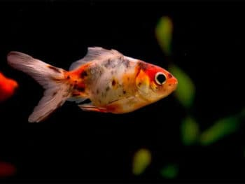 Why is My Goldfish Turning Black