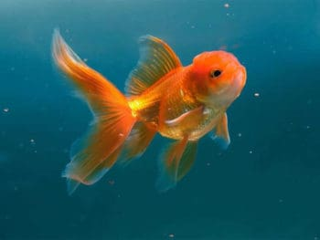 How Often to Feed Goldfish?